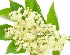 Elderflower oil